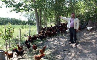 Pasinler'de organik tavuk ve yumurta dönemi