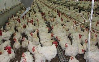 Bu yıl yumurta ve tavuk üretimi arttı