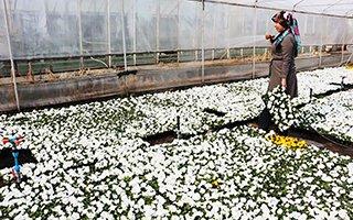 Uzundere'nin çiçekçi kadınları sezonu açtı