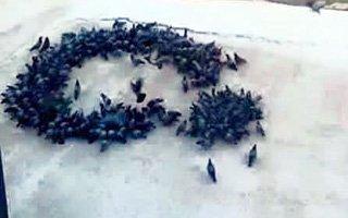 Güvercinlerin Ay-Yıldız Aşkı