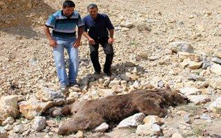 Oltu'da silahla vurulmuş boz Ayı bulundu