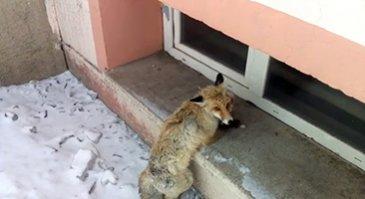 Köpeklerin saldırısına uğrayan tilki...
