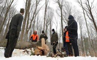 Genç ağaçlar yaşasın diye yaşlılar kesiliyor