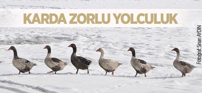 Kazların kar üzerinde zorlu yolculuğu