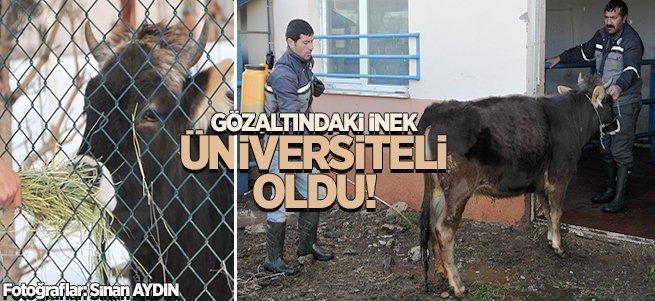 Gözaltındaki inek Üniversiteli oldu!