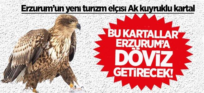 Erzurum'un yeni turizm elçisi ak kuyruklu kartal