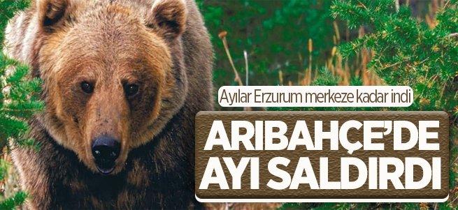 Erzurum'da Ayı kabusu geri döndü