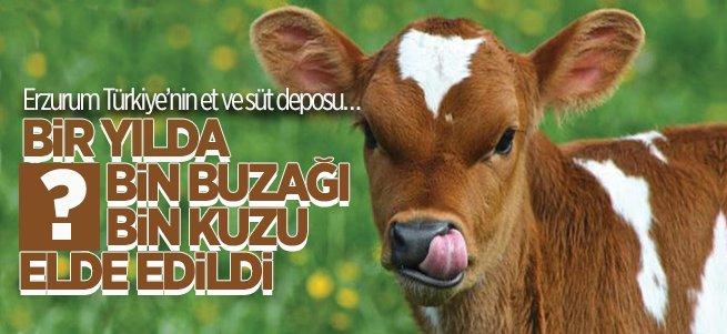 İşte Erzurum'da 1 yılda elde edilen buzağı ve kuzu sayısı