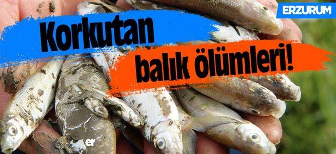 Aşkale'de toplu balık ölümleri korkutuyor