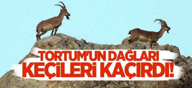 Tortum'un dağları keçilerini arıyor!
